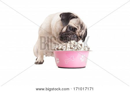 cute pug puppy dog sitting and eating food from pink bowl isolated on white background