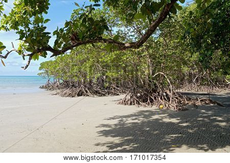 mangrove forest on coral sea coast and beach at cape tribulaton in north queensland australia