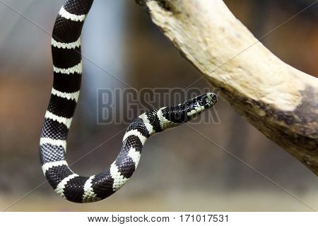 black and white California king snake hanging from branch