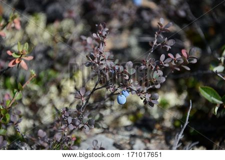 Blueberry berries in the north woods Yakutia Eastern Siberia