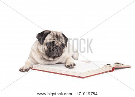 cute little pug dog puppy is lying down and reading a book isolated on white background