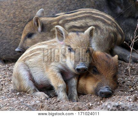 Sleeping Wild Piglets