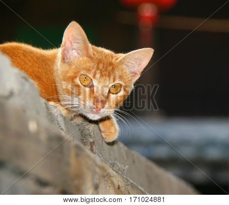 ginger cat with yellow eyes lying in the yard