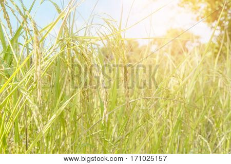 Rice field ready for harvest, In the daytime