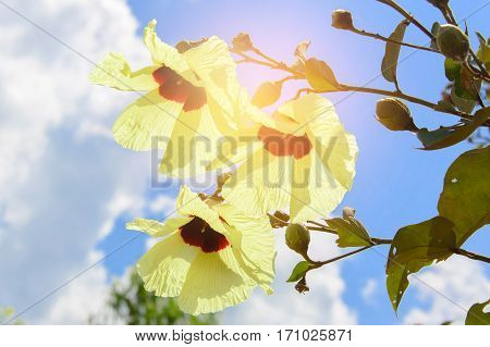 cotton flower with a beautiful yellow. During the daytime