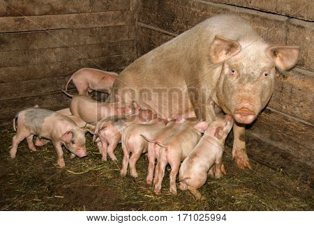 pig with many piglets in the barn