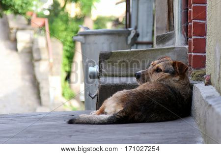 Homeless sad dog lying on the street