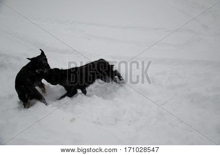 Two Mongrel Dogs Playing In A Snow