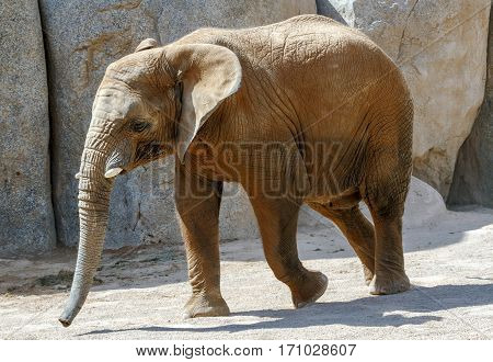 Portrait of an African elephant Loxodonta Africana