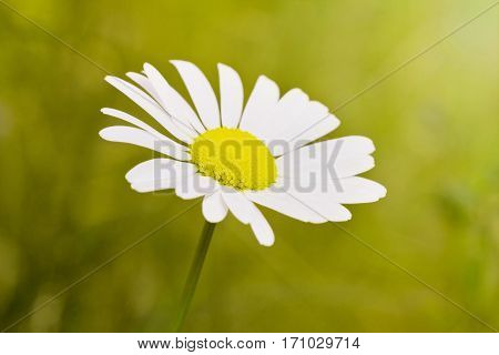Camomile macro view, focus in the centre of the flower.
