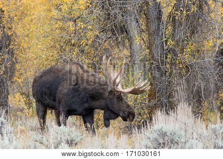 a bull shiras moose in rut in Wyoming in fall