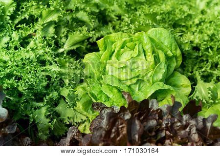 Cultivation organic vegetable