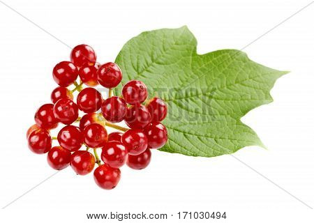 Red berries of viburnum on a branch with leaves isolated on white background.