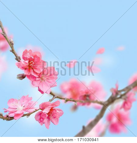 Sakura japan cherry blossoms with flying petals on blue