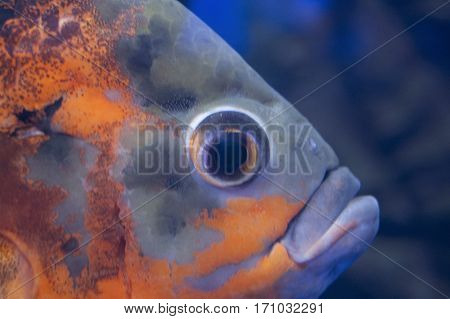 Fish in water. Aquarium inhabitant, asteroid, sea , ocean.