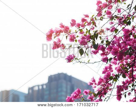 Pink Bougainvillea flower over blurry high building background