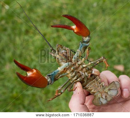 the underneath of a Signal crayfish showing the red claws