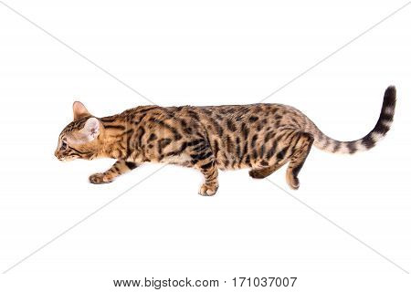 Bengal kitten 5 months old sneaking up in front of white background. isolate