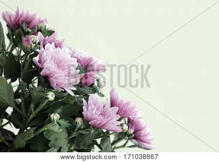A close up view of beautiful pink aster flowerы with place for your text. Shallow depth selective focus.
