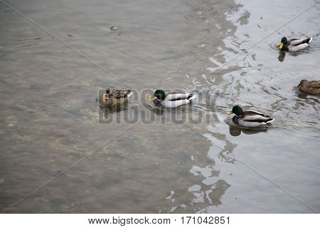 Ducks in the river with reflection and waves