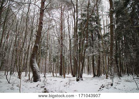 the winter landscape forest trees snowy wonderland