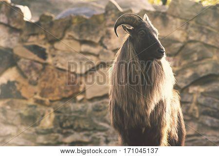 wild goat standing in front of huge mountain rock