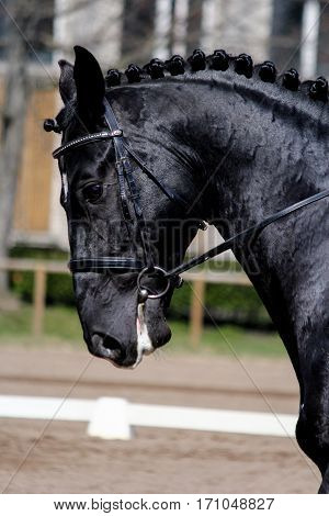 Portrait Of Black Sport Horse During Show