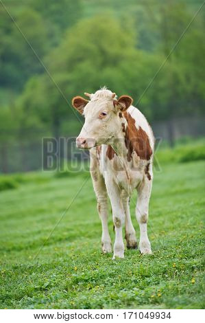 Red-flecked breed calf cow on green meadow in the early morning