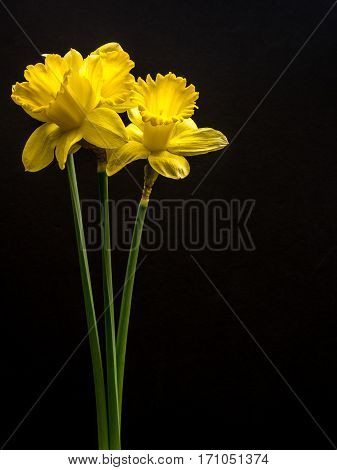 Yellow daffodils on black portrait orientation, copy space