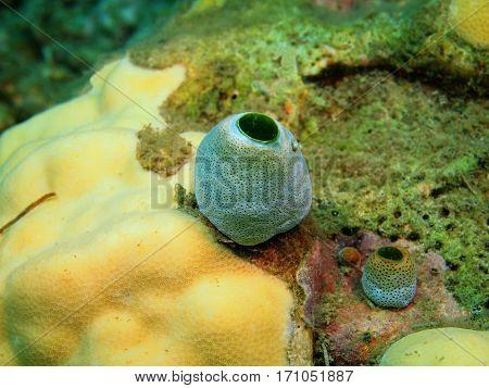 The surprising underwater world of the Bali basin, Island Bali, Lovina reef, sea squirt