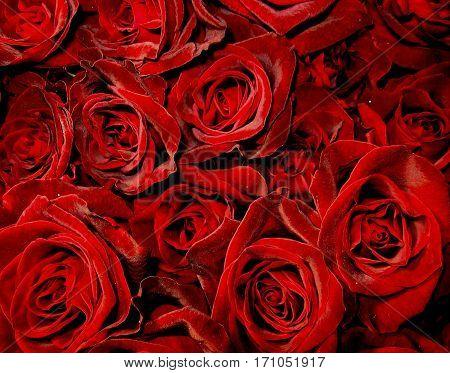 Dark red velvet roses in big bouquet.