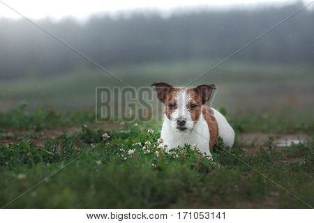 Dog Jack Russell Terrier Outdoors