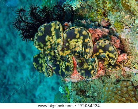 The surprising underwater world of the Bali basin, Island Bali, Lovina reef, clam