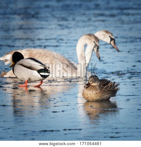 The Beautiful waterfowl walking on the ice