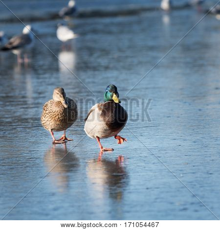 Two beautiful ducks walking on the ice