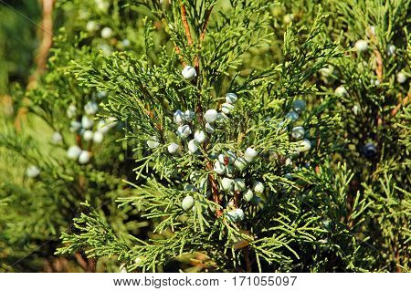 Juniper Plant With Fruit