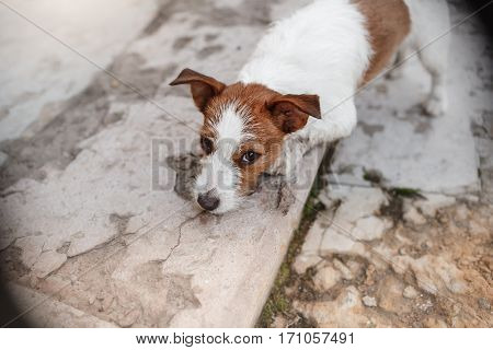 Jack Russell Terrier dog on nature cute beautiful