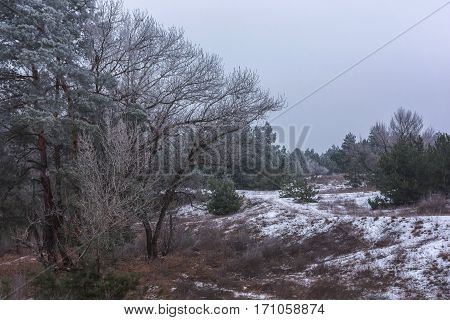 winter pine forest in the snow . winter background.