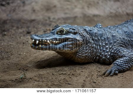 Crocodile on the ground at evening time