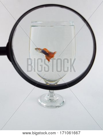 Small guppy fish in glass under magnifying glass