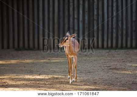 Lone antelope on a background of wooden fence
