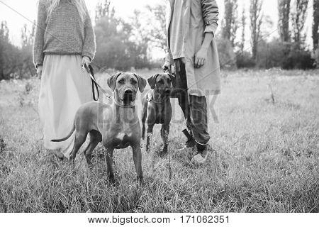 Two Rhodesian ridgeback in a field on a leash in men and women
