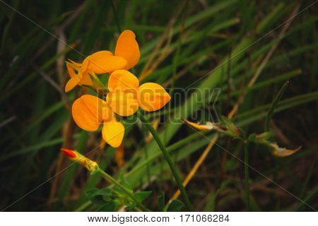 Yellow-orange flowers with red bud on a wild meadow