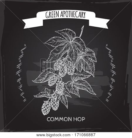 Humulus lupulus aka common hop sketch blackboard background. Green apothecary series. Great for traditional medicine, gardening or cooking design.