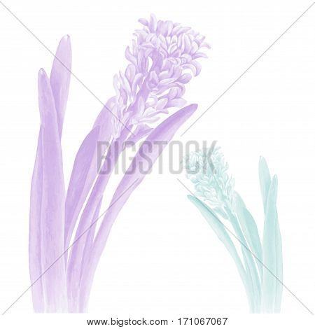 Photo realistic illustration of a hyacinth in two color schemes. Could be used as decoration for web design polygraphy or textile