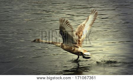 A wild goose flying over a river