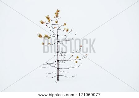 Small Ugly Pine Alone In Snow