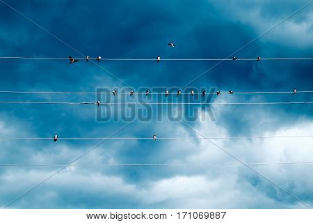 Group Of Swallows Sitting On Wires