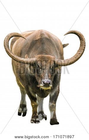 Asian long horn water buffalo, isolated on white background.