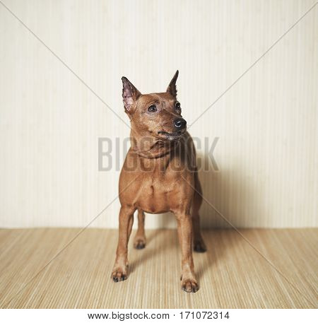 dog breed zwergpinscher standing on the wooden background view from front.